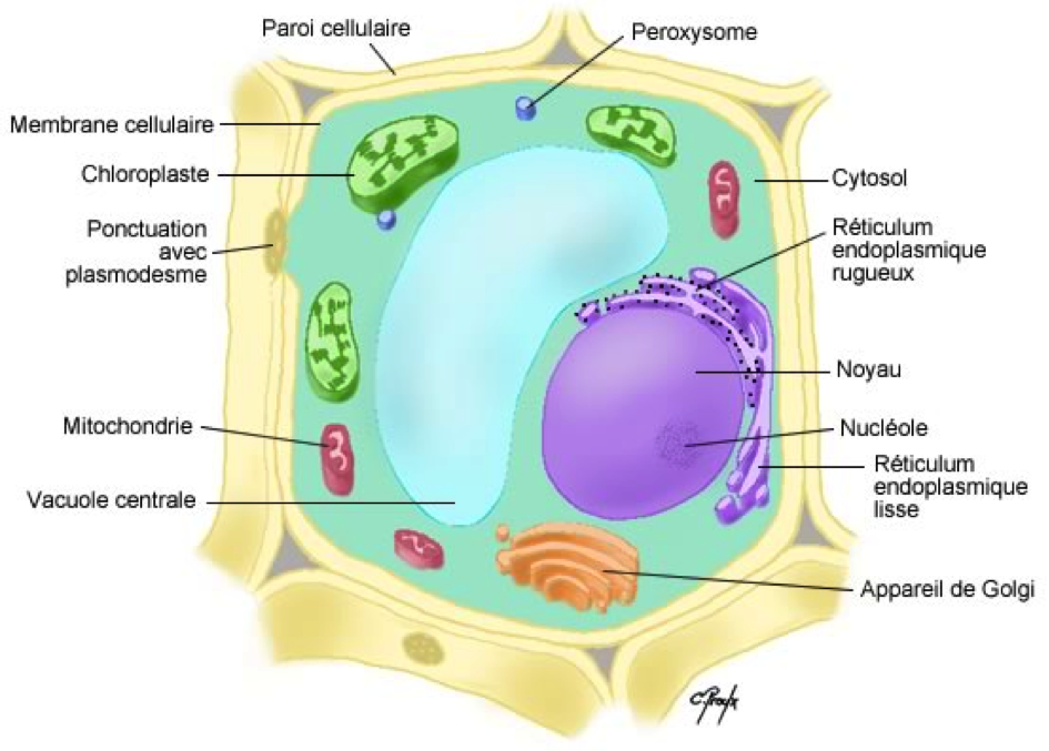 Parions_Green_Schema_cellule_vegetale_jpboserer.eu